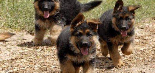 Покупка щенка