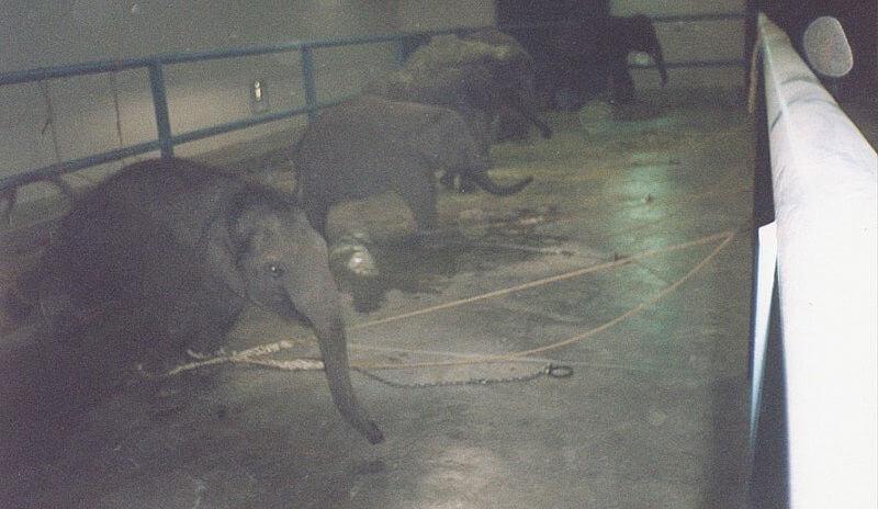 Жизнь слонов в цирке