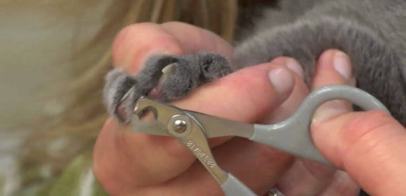 Как стричь когти кошке