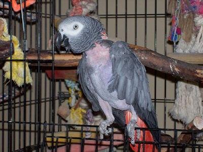 Выпадение перьев у попугая