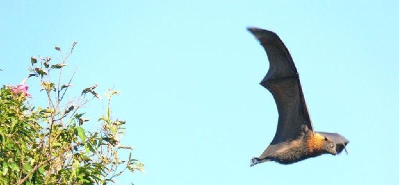 Летучая лисица калонг