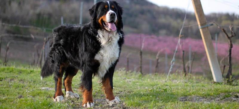 Бернская горная пастушья собака