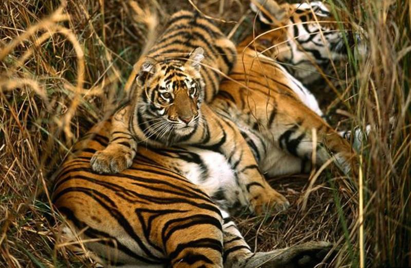 Факты о тиграх