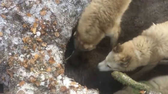 Охота на медведя с западно-сибирской лайкой видео