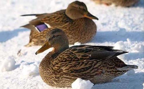 Охота зимой на уток с чучелами