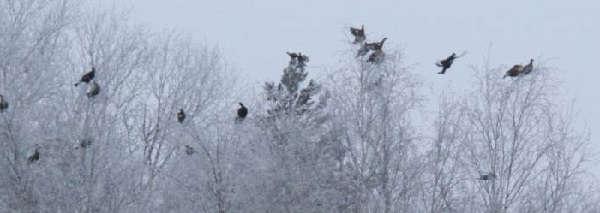 Охота зимой на косача