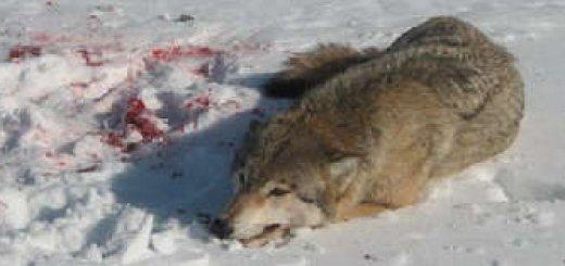 Охота зимой на волка