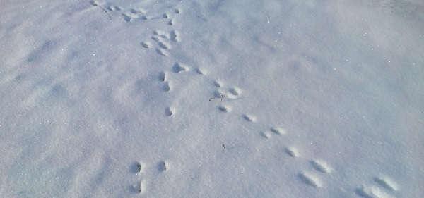 Охота зимой на зайца троплением