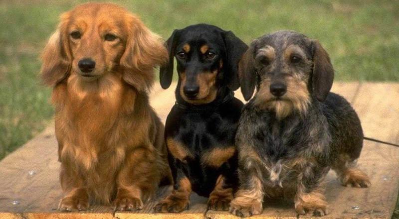 Выбор щенка охотничьей собаки