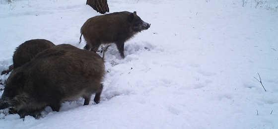Кабаны в зимнем лесу