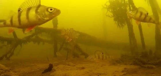 Ловля окуня на блесну подводная съемка