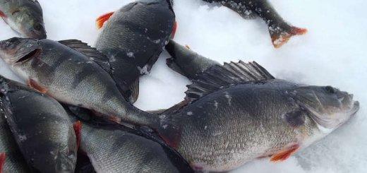 Ловля окуня зимой в Якутии