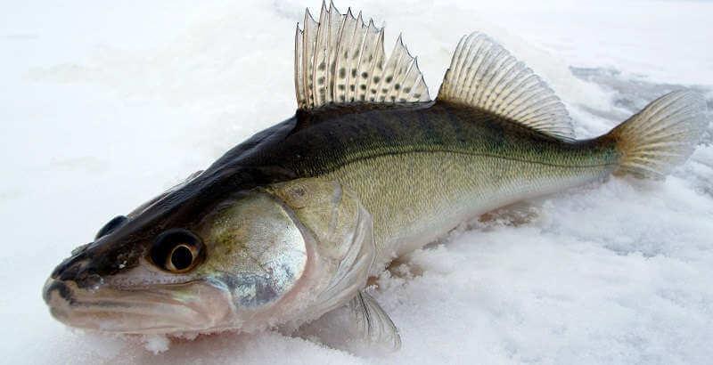 насадка рыбалка на судака