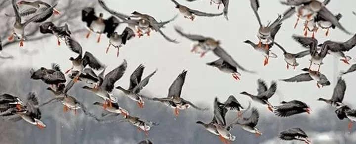 Охота на гуся в Саратовской области
