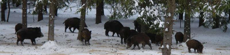 Охота на кабана в Амурской области
