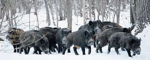Охота на кабана в Закарпатской области