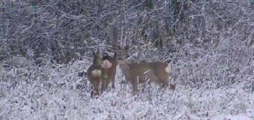 Видео охоты на косулю с подхода