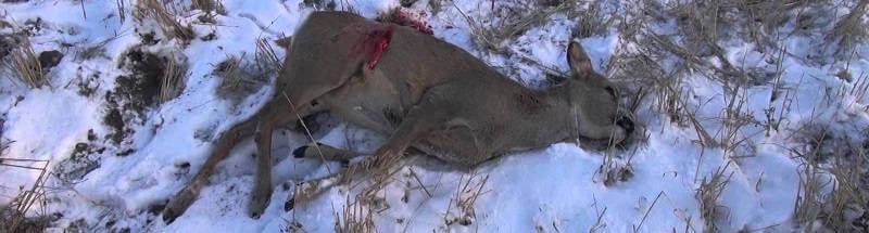 Охота на косулю зимой видео