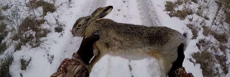 Охота на зайца в 2017