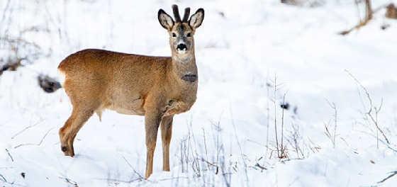 Видео зимней охоты на косулю