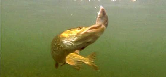 Подводная съемка щуки