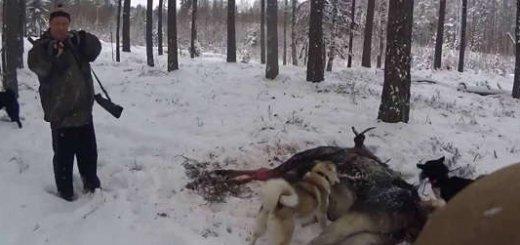 Загонная охота на лося в Белоруссии