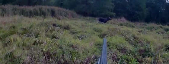 Видео загонной охоты