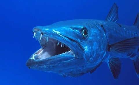 Барракуда нападает на акулу