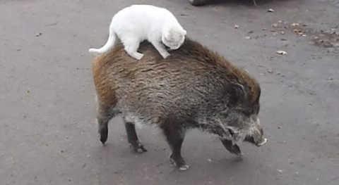 Дикий кабан и кот