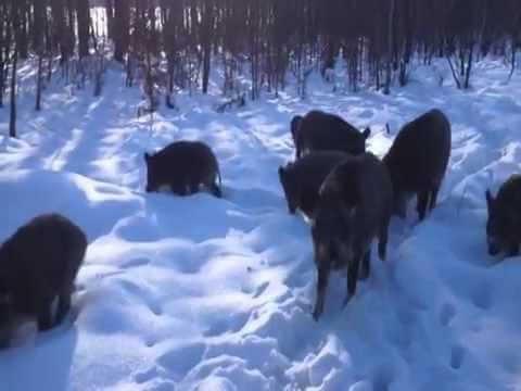 Встреча с кабанами в зимнем лесу видео