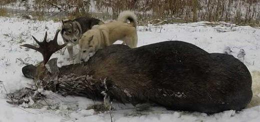 Зимняя охота на лося с собаками