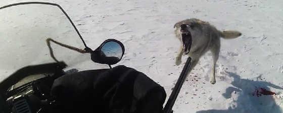 Охота на волков в Актюбинской области
