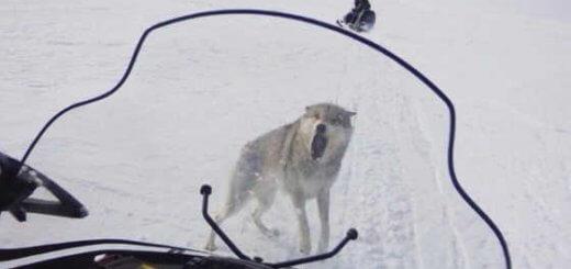 Видео охоты на волка в Западном Казахстане