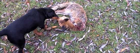 Видео охоты с ягдтерьером