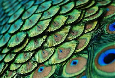 Павлиньи перья