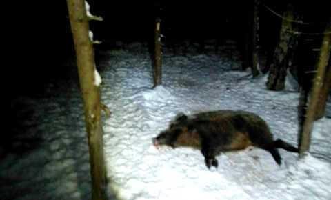 Видео зимней охоты на кабана в Башкортостане