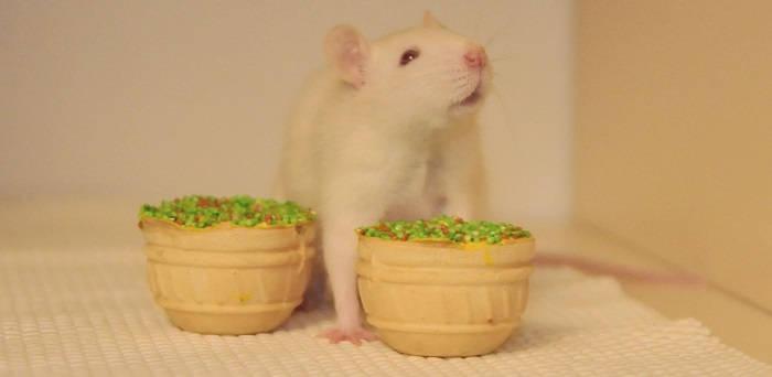 Чем нельзя кормить крысу