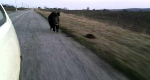 Дикий кабан бежит-40 км/ч видео