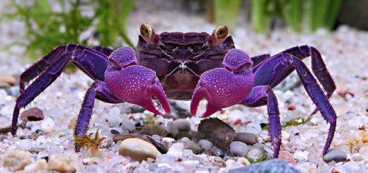 Фиолетовые крабы