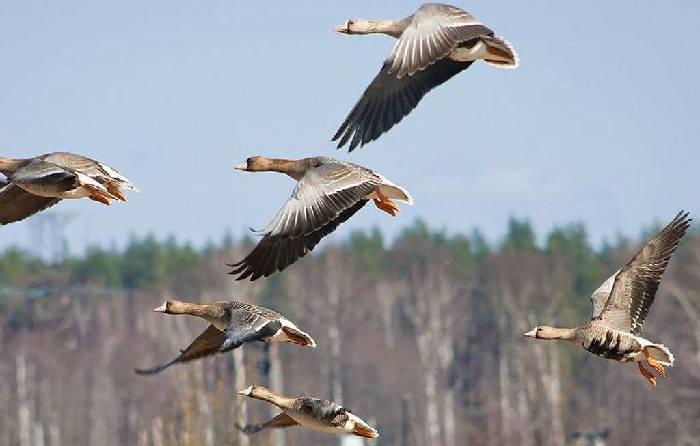 Как стрелять гусей на перелетах