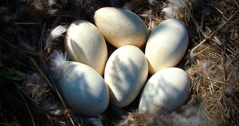 Кладка яиц