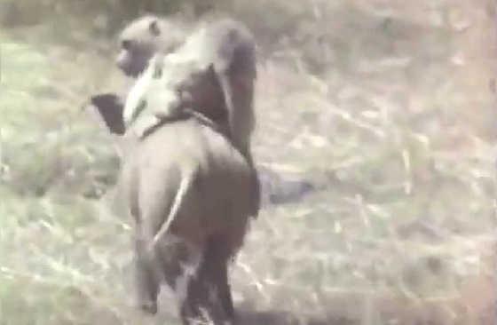 Обезьяны оседлали кабана видео
