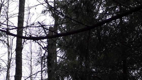 Охота на рябчика зимой в 2018 году видео