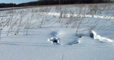 Заяц в норе под снегом видео