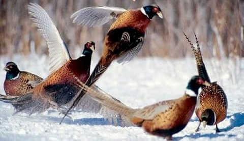 Зимняя охота на фазана