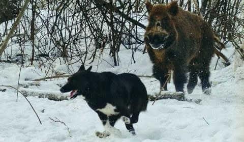 Зимняя охота на кабана с собаками