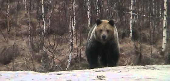 Голодный медведь видео
