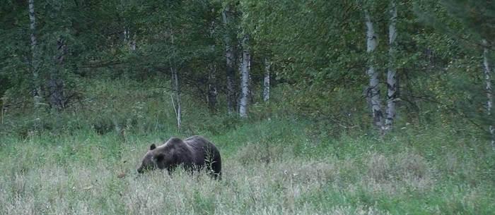 Как охотиться на медведя на овсах