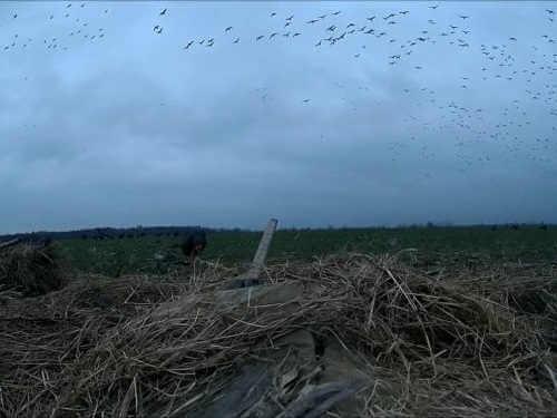 Налеты птицы осенью в Карелии видео