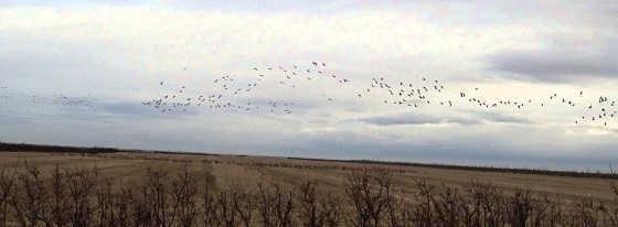 Охота на гуся на Днепропетровщине видео